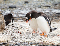 Gentoo-Pinguin Stockbild