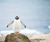 Gentoo-Pinguin Stockfotos