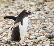 Gentoo-Pinguin Stockfoto