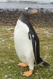 Gentoo Pinguin Lizenzfreie Stockfotos