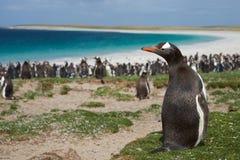 Gentoo Pinguin Stockfoto