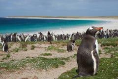 Gentoo Pinguin Lizenzfreie Stockbilder