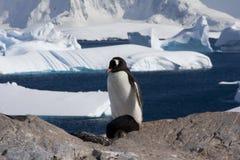 Gentoo Pinguin, Antarktik Lizenzfreie Stockfotos