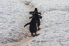 Gentoo Pinguin, Antarktik Lizenzfreie Stockfotografie