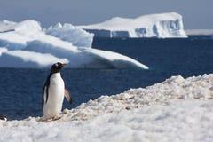 Gentoo Pinguin, Antarktik Lizenzfreies Stockbild