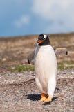 Gentoo-Pinguin auf dem Strand mit einem Felsen in seinem Mund Stockbild