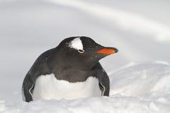 Gentoo-Pinguin, der auf dem Schneewinter liegt Stockfoto