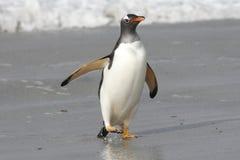 Gentoo Pinguin, der auf den Strand geht Stockfoto