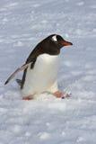 Gentoo-Pinguin, der auf Schneeüberwendlingsnaht geht Lizenzfreie Stockfotografie