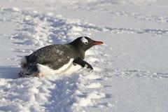 Gentoo-Pinguin, der auf seinen Bauch kriecht Lizenzfreie Stockfotografie