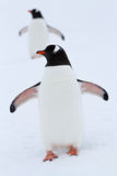 Gentoo-Pinguin, der in der Schneewinterüberwendlingsnaht steht Stockbild
