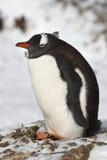 Gentoo-Pinguin, der im alten Nestwinter sitzt Stockbild