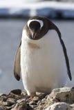 Gentoo-Pinguin, der nahe einem Nest darunter steht Stockfotos