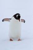 Gentoo-Pinguin, der am Schneewintertag geht Stockbilder