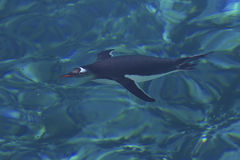 Gentoo-Pinguin, der unter Wasser in das klare Wasser der Ameise schwimmt Stockbilder