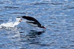 Gentoo-Pinguin, der von der Wasserschwimmen herausspringt Lizenzfreie Stockfotografie
