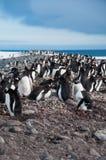 Gentoo Pinguin-Kolonie lizenzfreie stockfotografie