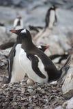 Gentoo Pinguin mit Ei. Stockfoto