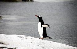 Gentoo-Pinguin oder pygoscellis Papua Lizenzfreie Stockfotos