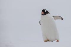 Gentoo-Pinguin in Position gebracht auf der rechten Seite des Schirmes Stockbild