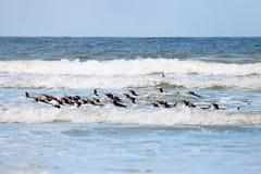 Gentoo-Pinguin (Pygoscelis Papua) schwimmend weg vom Ufer von Stockbild
