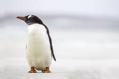 Gentoo-Pinguin (Pygoscelis Papua) stehend auf einem Strand Kopieren Sie Spac Lizenzfreies Stockfoto