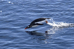 Gentoo-Pinguin sprang vom Wasser auf einem sonnigen heraus Stockfoto
