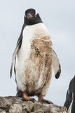 Gentoo-Pinguin stehend auf den Felsen und verstrickt im Schlamm von Lizenzfreie Stockfotografie