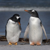 Gentoo Pinguine Stockfotos