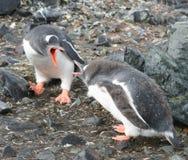 Gentoo Pinguine Stockfotografie