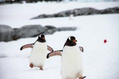 Gentoo Pinguine Lizenzfreie Stockbilder