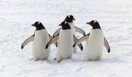Gentoo-Pinguine auf dem Ausblick für ihre Kolonie Stockfotografie