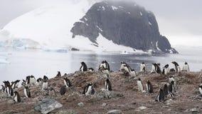 Gentoo Pinguine auf dem Nest stock footage