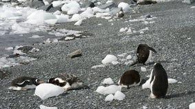 Gentoo-Pinguine auf dem Strand stock footage