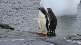 Gentoo-Pinguine chiks stock footage