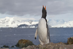 Gentoo-Pinguine, das an stehend schreit Stockbilder