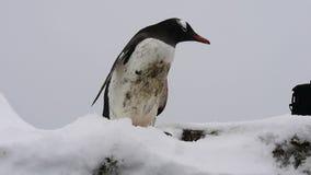 Gentoo-Pinguine, die auf dem Eis plaing sind stock video footage