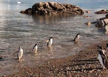 Gentoo Pinguine, die vom Fischen zurückkommen Stockfoto