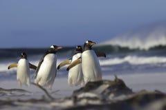 Gentoo-Pinguine, die von der Brandung zu ihrer Kolonie gehen Stockfotografie