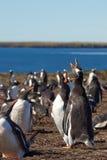 Gentoo-Pinguine - Falkland Islands Lizenzfreie Stockbilder