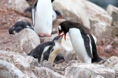Gentoo-Pinguine, Mutter und Küken, Pygoscelis Papua, antarktische Halbinsel Stockfotografie