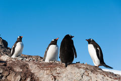 Gentoo Pinguine nähern sich dem Berg Stockbilder