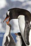 Gentoo-Pinguinfrau, die das Küken im Nest auf einem sunn einzieht Stockfoto