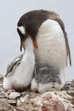 Gentoo-Pinguinfrau, die eins der Küken einzieht Lizenzfreies Stockbild
