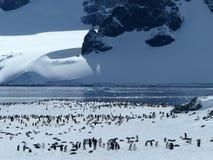 Gentoo Pinguinkolonie, Antarktik Lizenzfreies Stockfoto