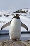 Gentoo-Pinguinkolonie, die in seinen Flügeln steht Lizenzfreie Stockfotografie