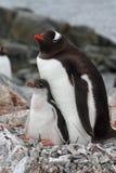 Gentoo Pinguinmuttergesellschaft mit Jungen, Antarktik Stockfoto