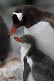 Gentoo Pinguinmuttergesellschaft mit Jungen, Antarktik Lizenzfreie Stockfotos