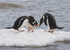 Gentoo-Pinguinweg auf dem Eis Stockbild