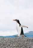 Gentoo pingvin Fotografering för Bildbyråer